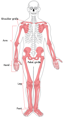 250px-Appendicular_skeleton_diagram.svg
