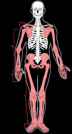 250px-Appendicular_skeleton_diagram.svg